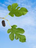 Black mulberry — Stock Photo