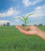 玉米作为农业的礼物 — 图库照片