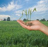 Tarwe als een geschenk van de landbouw — Stockfoto