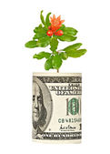 Pomegranate flower growing from dollar bill — Stock Photo