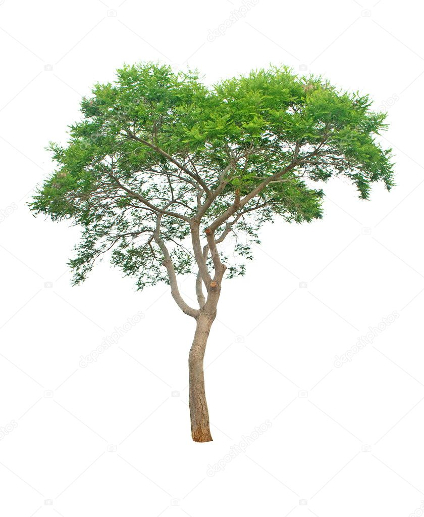 Tree isolated on white background — Stock Photo #3453791