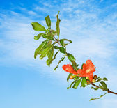 Pomegranate branch with flowers — Stock Photo