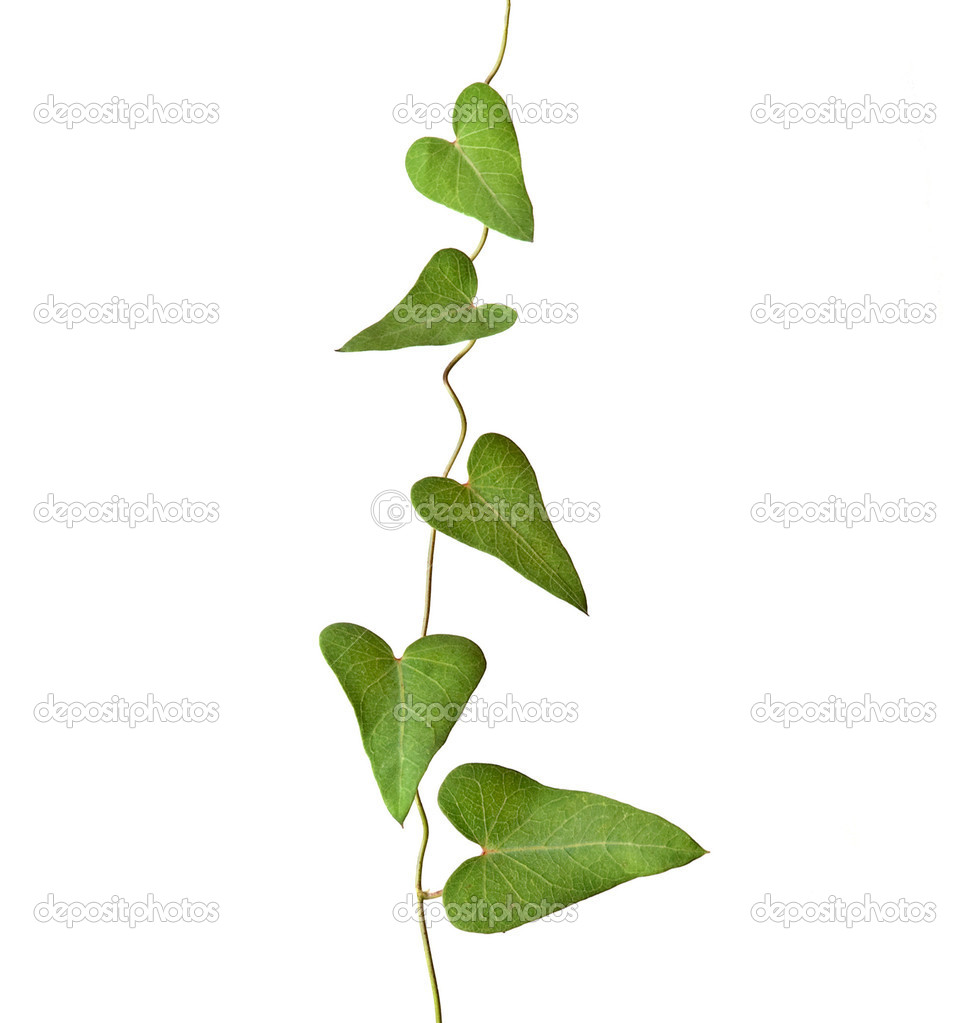 Vine isolated on white background  Stock Photo #3469785