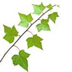 Ivy isolated on white background — Stock Photo #3484846