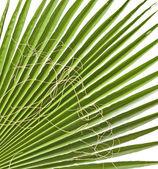 Palm leaf isolated on white background — Stock Photo