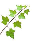 Ivy isolated on white background — Stock Photo
