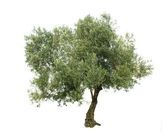 Olive tree isolated on white background — Stock Photo