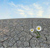 Chamomile growing on barren land — Stock Photo
