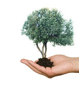 Olive tree in hand as a gift of agriculture — Stock Photo