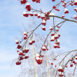 Stock Photo: Winter rowbranches