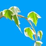 Постер, плакат: Ivy bush on blue