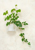 Cissus rhombifolia in pot on wall — Stock Photo
