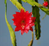 Red cactus flower — Stock Photo