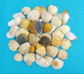 Sea clamshells — Stock Photo