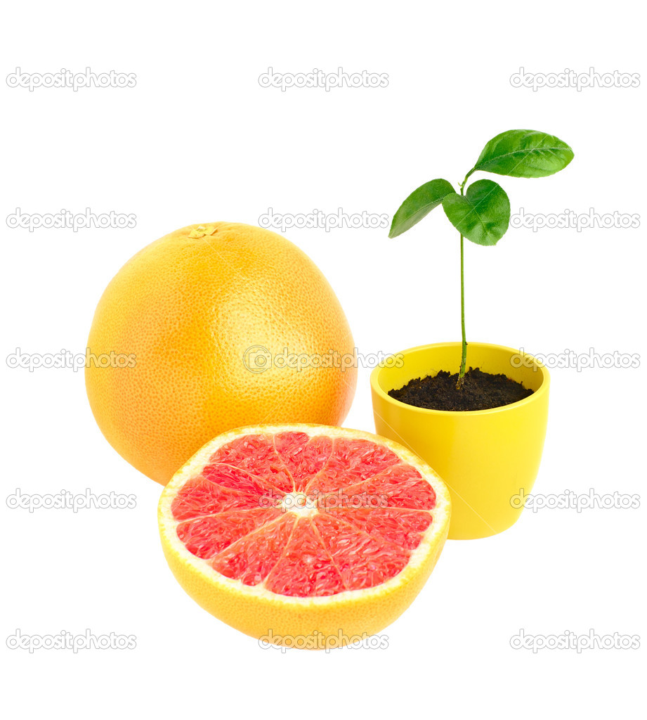 Still life grape-fruit and citrus tree rostock in pot   Stock Photo #3822290