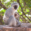 Stock Photo: Vervet monkey with baby