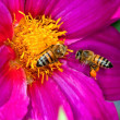 Stock Photo: Two bees on yellow and purple flower
