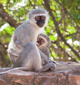 Vervet monkey with baby — Stock Photo