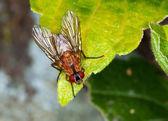 Macro de uma mosca marrom — Foto Stock