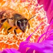 Macro of a bee in a flower — Stock Photo #3015509