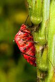 Macro de un insecto rojo — Foto de Stock