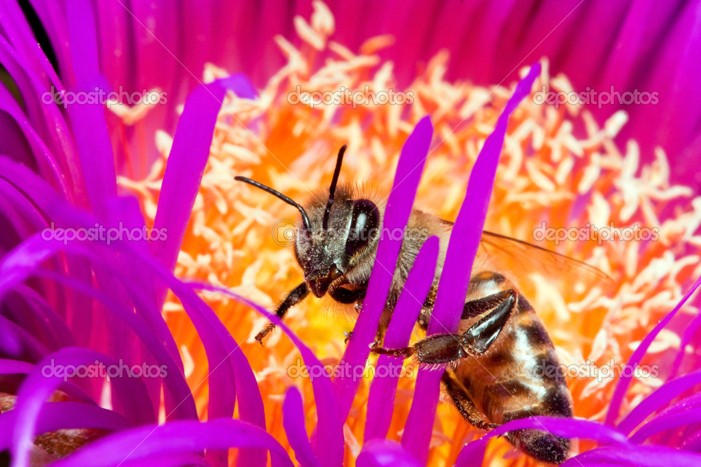 Macro of a bee in a yellow and lilac flower  Stock Photo #3015535