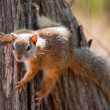 Stock Photo: Tree squirrel