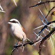 Redbacked shrike with food — Stock Photo