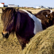 Icelandic horse — Stock Photo #2749908