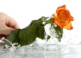 Water rose — Stock Photo