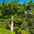 Stock Photo: Bright green pine-tree