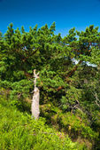 Bright green pine-tree — Stock Photo