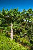 Bright green pine-tree — Stock Photo