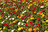 Chrysanthemum flower bad — Stock Photo