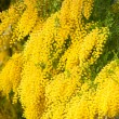 Stock Photo: Yellow mimosflowers