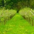 Stock Photo: Young apple garden in blossom