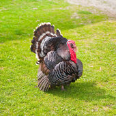 Strutting turkey cock on green grass — Stock Photo