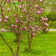 Stock Photo: Magnolitree in blossom