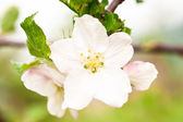 Apple tree flower — Foto Stock