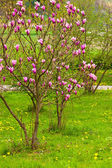 Magnolia tree in blossom — Stock Photo