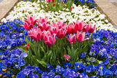 Pink tulips and blue pansy flowers — Stock Photo