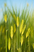 Green wheat close-up macro — Stock Photo