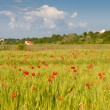 Red poppies on green wheat field — Stock Photo #3173233