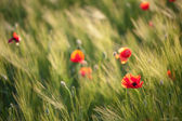 Red poppies on green wheat field — Stock Photo