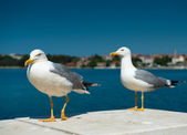 Two white seagulls — Stock Photo