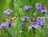 Butterflies (Painted Lady, Vanessa cardui) — Stock Photo