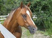 栗の馬 — ストック写真