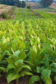 Tobacco plants — Stock Photo