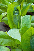 Tobacco plants — Stock Photo