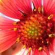 red gerbera flower close up — Stock Photo